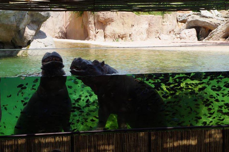 Zoom Torino, a tu per tu con gli ippopotami