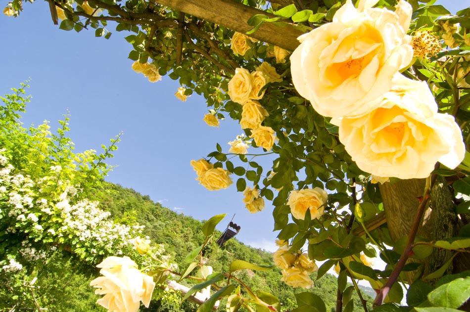 Merano, profumo di rose per la riapertura dei Giardini di Sissi
